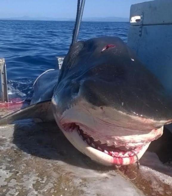 scopri le ultime tendenze aspetto elegante in vendita Australia, catturato squalo tigre di sei metri - Repubblica.it