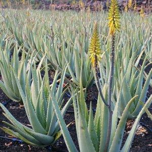 Aloe vera, il segreto del successo e il mistero delle origini
