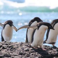 Dall'Antartide all'equatore la dura lotta dei pinguini per la sopravvivenza