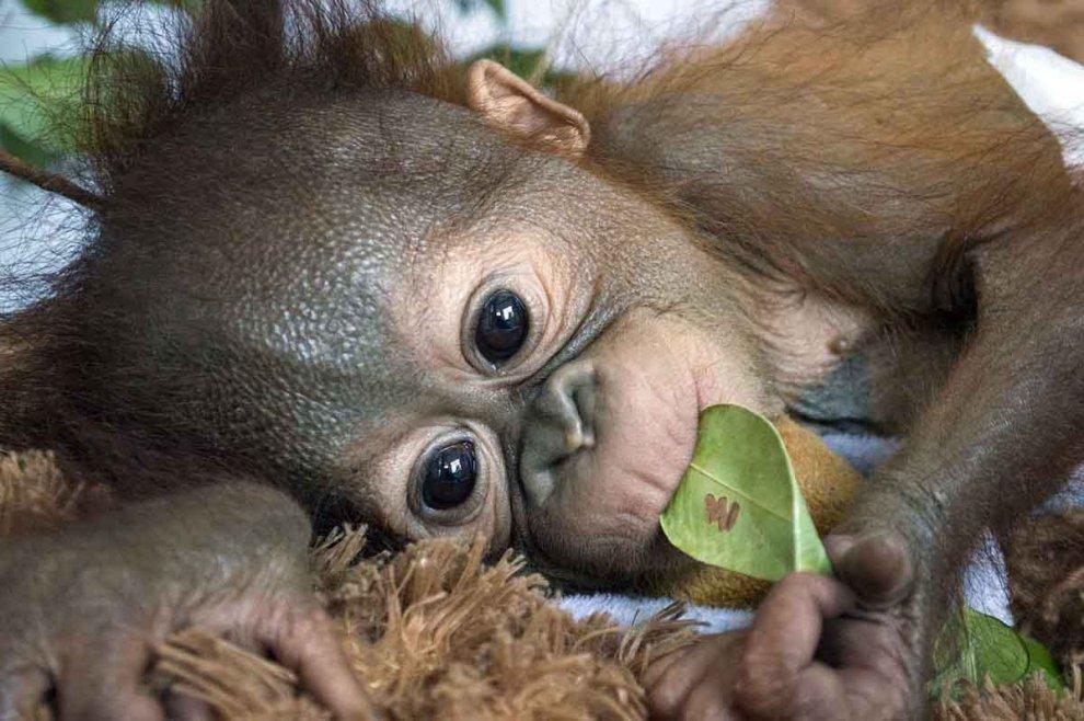 Borneo, orfana e in lacrime nella foresta: salvata la piccola orango
