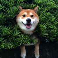 Giappone, lo Shiba più 'felice' del mondo: sospeso e incastrato a tre metri da terra