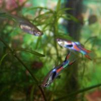 Pesci femmine nuotano meglio per poter sfuggire ai maschi
