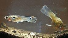 Pesci femmine nuotano meglio per poter sfuggire ai pesci maschi