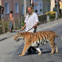 A spasso con Taiga, l'addestratore festeggia il compleanno girando con la tigre