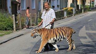 E' il compleanno dell'addestratore festeggia a spasso con la tigre