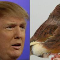 Dalla pannocchia al canarino: tutte le bizzarre somiglianze di Donald Trump