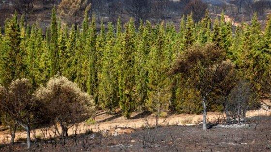 L'enigma di quei cipressi: perché hanno resistito  al fuoco?