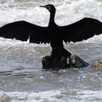 Sardegna, allarme cormorani: hanno mangiato pesce per 2,5 milioni di euro