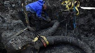 Incredibile scoperta del contadino  dal terreno riaffiora un mammut