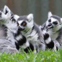 Madagascar, salvi i lemuri e 1.600 ettari di Foresta Pluviale grazie all'Italia