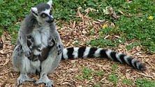 Madagascar, salvi i lemuri e 1.600 ettari di foresta Pluviale. Grazie all'Italia