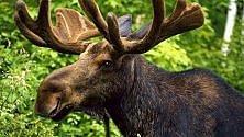 Torna la vita a Chernobyl  gli animali selvatici ripopolano la zona