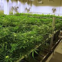 Colorado, pesticidi sulla marijuana. Due consumatori fanno causa