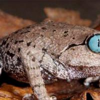 Himalaya, la scimmia che starnutisce e la rana dagli occhi blu: oltre 200 nuove specie scoperte dal 2009