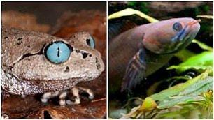 Himalaya, rana dagli occhi blu tra le 200 nuove specie scoperte