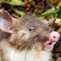 Indonesia, scoperto un nuovo roditore: il topo con il naso da maiale