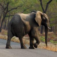 Nuova barbarie dei bracconieri in Zimbabwe: 14 elefanti uccisi con il cianuro