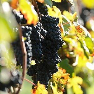 La Francia ammette il sorpasso: l'Italia è il primo produttore di vino al mondo