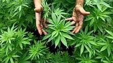 Marijuana coltivata con pesticidi. Consumatori fanno causa all'azienda