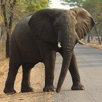 Il segreto degli elefanti. Ecco perché si ammalano raramente di cancro