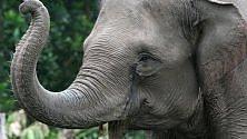 Gli elefanti si ammalano raramente di cancro, adesso si sa anche perché