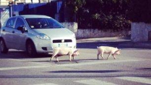 Sorpresa al semaforo attraversano i maiali