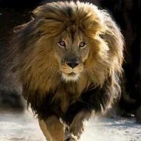 Non sarà incriminato il cacciatore che uccise Cecil, il leone dello Zimbabwe