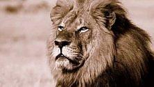 Niente incriminazione al cacciatore che uccise il leone Cecil /   Foto