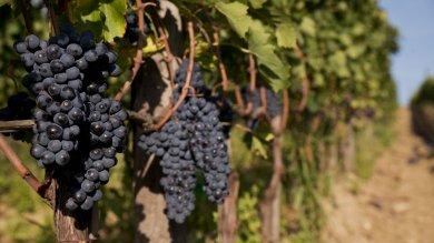 Vendemmia super e boom dell'export per il vino italiano è l'anno dei record