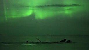 Megattere nell'aurora boreale lo spettacolo è irripetibile