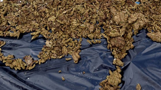 Cannabis di Stato: otto miliardi di euro il ricavo di un anno