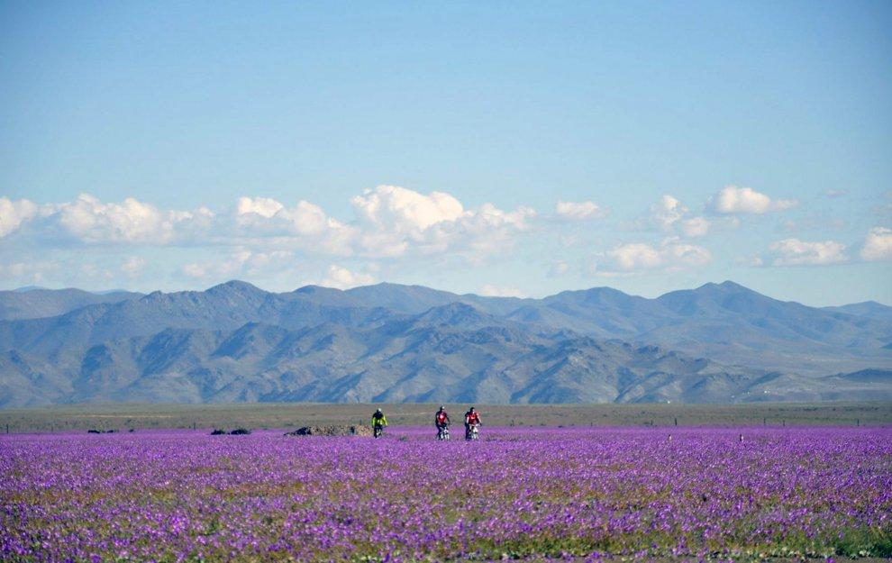 Cile, El Niño colora Atacama: il deserto rifiorisce