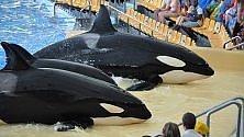 San Diego, vittoria degli animalisti: parco marino ferma show con le orche