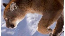 Puma alla riscossa, torna a  popolare il Midwest americano