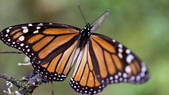 """Farfalle in città, a novembre è la """"primavera d'autunno"""""""