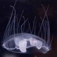 Scoperti parassiti con i tentacoli, parenti delle meduse