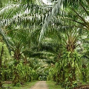 """""""I produttori di olio di palma alimentano gli incendi del Borneo"""""""