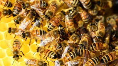 Ecco le api antiterrorismo con l'olfatto scovano gli esplosivi
