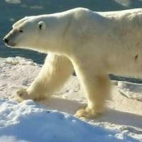 Cambiamenti climatici: nel 2050 sparirà un terzo di orsi bianchi