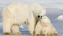 """Allarme 2050: sparirà  un terzo di orsi bianchi"""