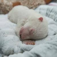 Usa, nasce prematura: la cure per la piccola orsa polare