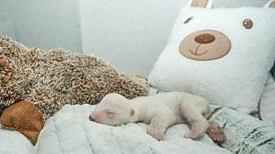 Nasce prematura, le cure  per la piccola orsa polare