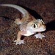 Il genoma del geco rivela i suoi segreti