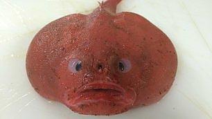 Pescato ' silly', il pesce che assomiglia a un fumetto
