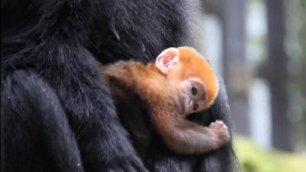 Festa allo zoo per Nangua la scimmietta color zucca