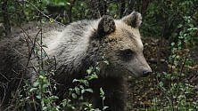 Morena, l'orsetta orfana, sta per tornare in libertà