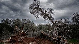 I giganti abbattuti: lo scempio degli ulivi tagliati per la Xylella
