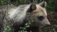 Morena, l'orsetta orfana, sta per tornare libera