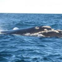 """A marzo il Giappone riprenderà a cacciare le balene """"a scopi scientifici"""""""