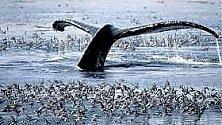 """Il Giappone riprenderà la caccia alle balene """"a scopi scientifici"""". Da marzo"""